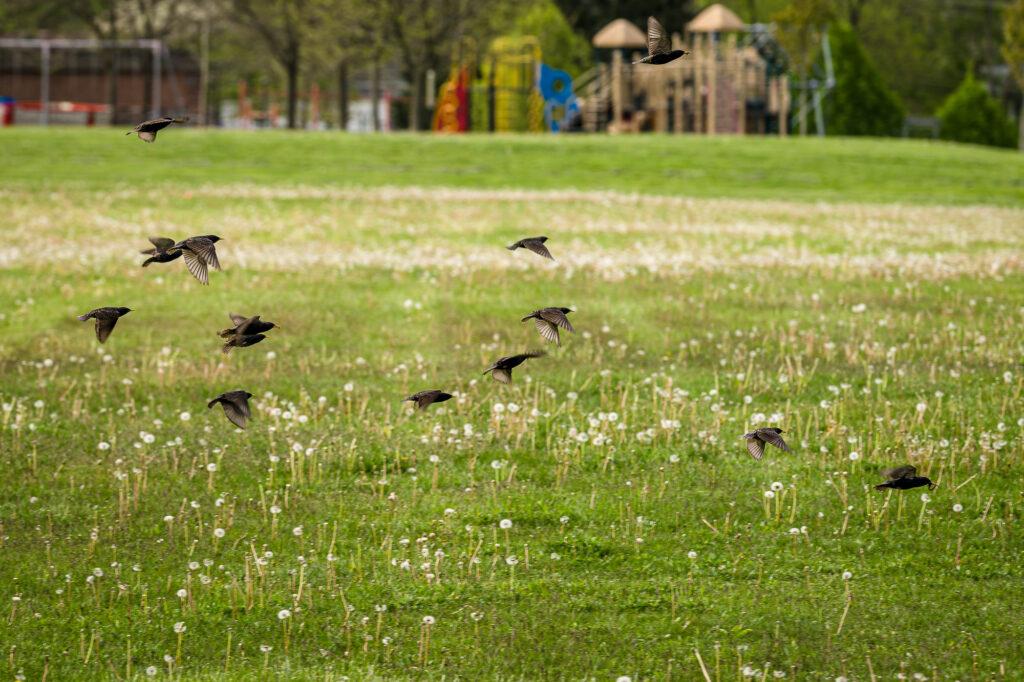 European  Starlings in flight