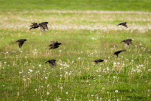 European  Starlings in flight