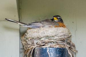 American Robin nesting