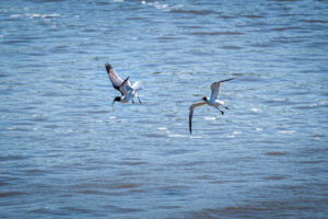 Two Laughing gulls fighting over a fish
