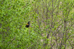 Red-winged Blackbird (a non-breeding male?)
