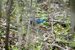 Hidden Blue Jay