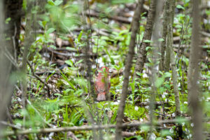 Hidden Northern Cardinal
