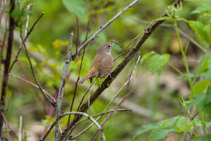 House Wren (or Hermit Thrush?)