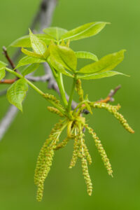May 25 – catkins