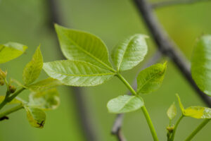 May 25 – fresh leaves