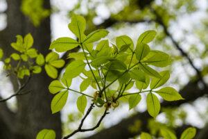 May 25 – backlit fresh leaves