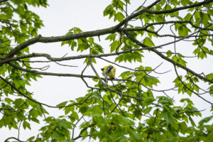 American Goldfinch – PEEK-A BOO!