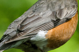 American Robin feather detail