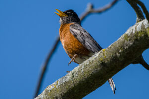 American Robin singing