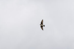Northern Rough-winged Swallow – catching a fly!