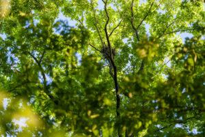 Cooper's Hawk nest