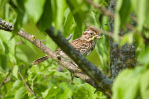 Song Sparrow with a triple treat!