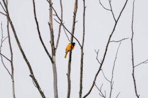 Baltimore Oriole pre-flight