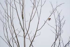 Baltimore Oriole in flight