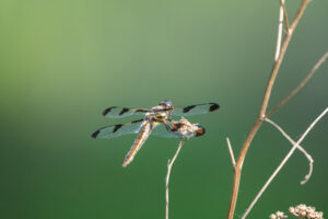 Common Whitetail Skimmer