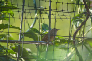 House Wren checking the tomatoes