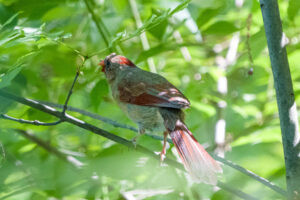 Northern Cardinal with a snack