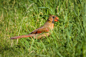 Northern Cardinal female eating an ant