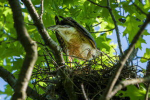 Cooper's Hawk feeding nestlings