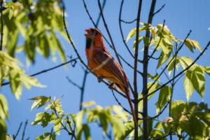 Northern Cardinal singing