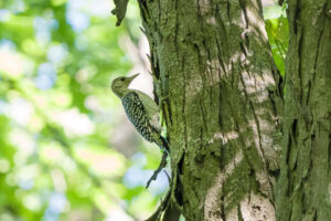 Red-bellied Woodpecker (immature)