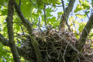 Cooper's Hawk nestlings