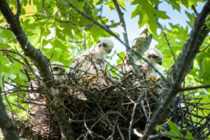 THREE Cooper's Hawk nestlings