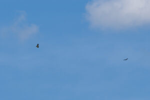 Turkey Vulture and Red-tailed Hawk