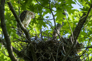 Cooper's Hawk – one of the nestlings is getting big!