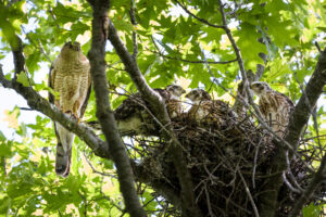 Cooper's Hawk nestlings are growing up fast!