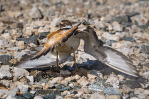 Killdeer broken-wing display