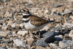 Killdeer with four eggs!