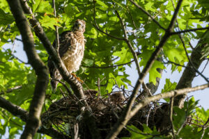 Cooper's Hawk – pay no attention to my goofy nest mate looking at the ground!