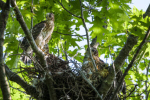 FOUR young Cooper's Hawks