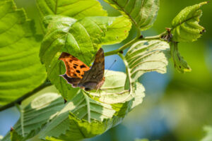 Eastern Comma Polygonia butterfly