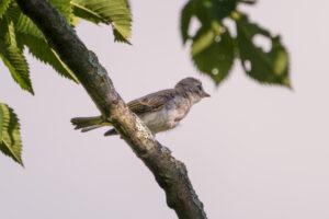 Warbling Vireo fledgling?