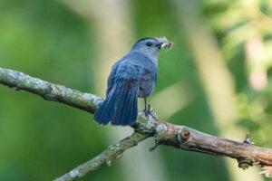 Gray Catbird