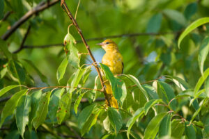 Female Orchard Oriole?