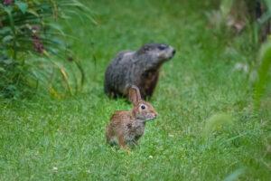 Rabbit and Woodchuck