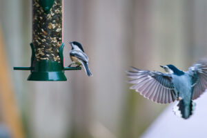 White-breasted Nuthatch coming in hot toward a Black-capped Chickadee