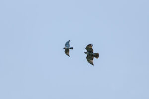Red-tailed Hawk and Broad-winged Hawk