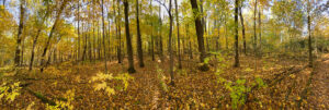 forest pano